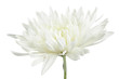 Beautiful White Chrysanthemum Flower on White Background