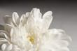 Close up shot of chrysanthemum