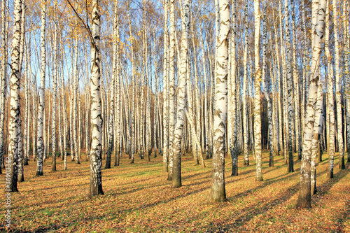 Deurstickers Berkbosje Birch grove in october