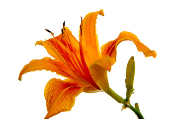 orange  lily on white