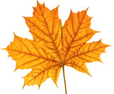 leaf maple isolated