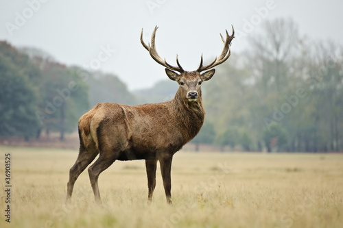 Foto op Aluminium Hert Portrait of majestic red deer stag in Autumn Fall