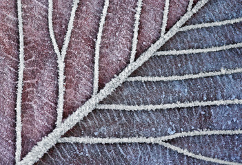 Frozen Leaf in Christmas Clolors