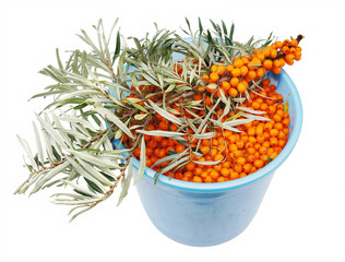 Full bucket of sea-buckthorn berries