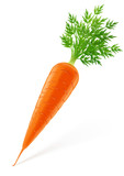 carrot with top vector illustration isolated on white background