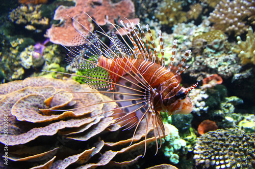 The Red lionfish (Pterois volitans) in the water