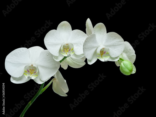 biala-orchidea-na-czarnym-tle
