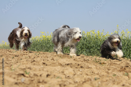 three bearded collies running on the fields