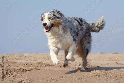berger australien trottant sur la plage