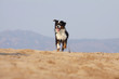 beautiful australian shepherd running
