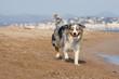 berger australien essoufflé sur la plage