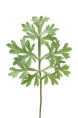 Altemisia absinthium