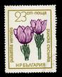 Bulgaria showing pulsatilla vernalis, circa 1968