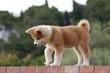 Cucciolo di Akita