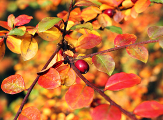 color berry bush