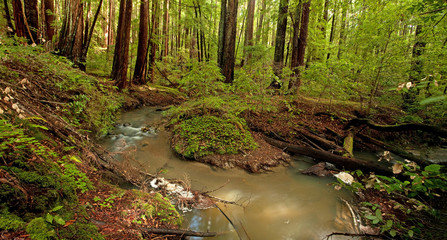 Lush rain forest and stream in Portola Redwoods, California