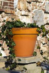 Ivy growing in a terracotta pot