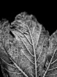 black & white frozen leaf