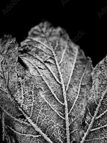 black & white frozen leaf