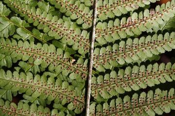 Wurmfarn (Sporenbehälter)