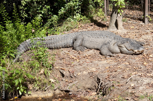 Full Length Alligator