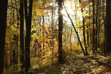 Autumn scenery in the beech forest on a sunny morning
