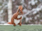 Red squirrel sitting on green fence in snow