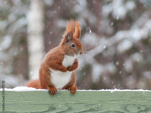 In de dag Eekhoorn Red squirrel sitting on green fence in snow