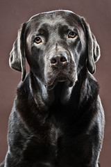 Handsome Chocolate Labrador