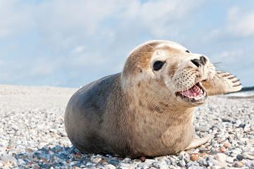 Robbe auf Helgoland