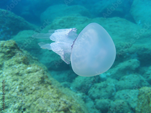 Jellyfish Rhizostoma pulmo