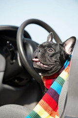 French Bulldog in a car