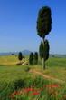 Weg mit Zypresse, Toskana am Vulkan Monte Amiata, Italien