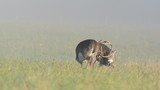 Whitetail deer bucks sparring in a foggy meadow