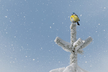 small bird (blue tit) on treetop in wintertime