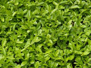 Фон из молодых зеленых листьев