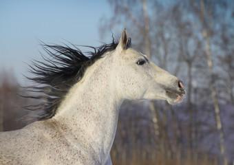 arab horse closeup
