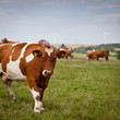 Cow grazing on a lovely green pasture