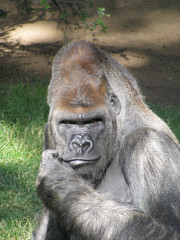 Gorilla in thought