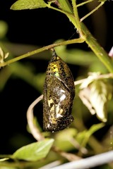 chrysalis of butterfly
