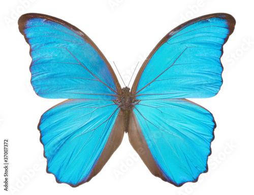 Morpho  butterfly(Morpho didius).