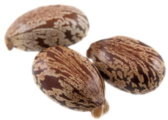 Graines de ricin : Ricinus communis
