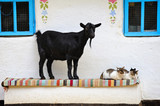 Rural scene. Goat and a cat on the bench.