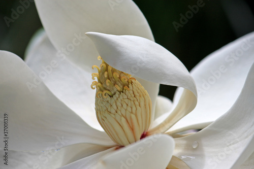 Magnolia flower © Jenny Thompson