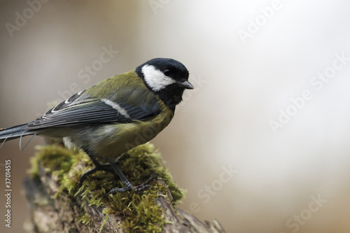 Great tit on stump