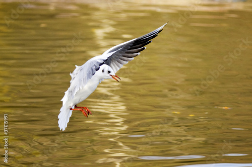 Gull landing on yellow water