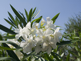 Oleander typical mediterranean bush on Isle of Corfu Greece