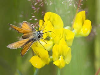 Small Skipper butterfly on yellow flower