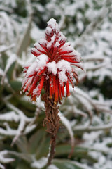 Red flowers under snow