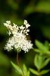 Echtes Mädesüß (Filipendula ulmaria) Blüte im Freien